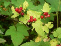 Плоды малины боярышниколистной