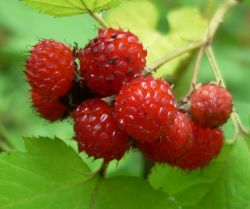 Малина боярышниколистная — Rubus crataegifolius Bunge